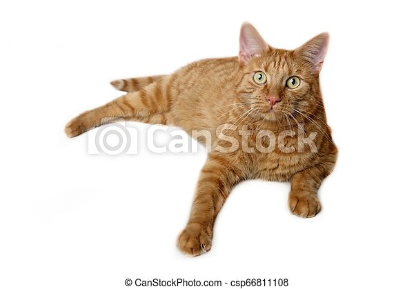 Close-up of a ginger cat lying and looking curious to the camera - isolated on a white background. - csp66811108