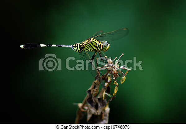 Close-up of a green dragonfly - csp16748073