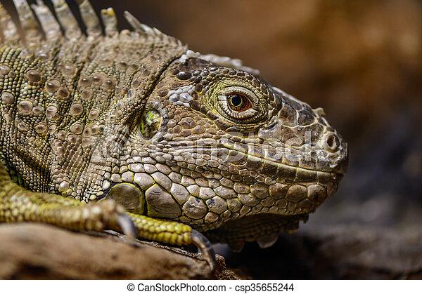 Close-up of a green Iguana. Calm and beautiful green iguana reptile portrait closeup at zoo.  - csp35655244