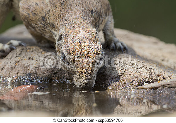 Close-up of a Ground squirrel drinking water from a waterhole in Kalahari desert - csp53594706