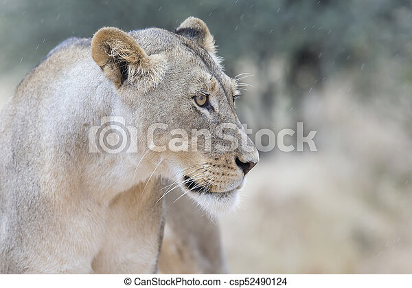 Close-up of a lioness in soft Kalahari rain looking for shelter - csp52490124