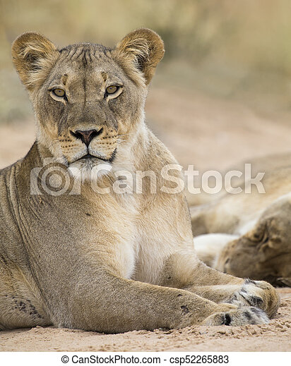 Close-up of a lioness lying down to rest on soft Kalahari sand - csp52265883