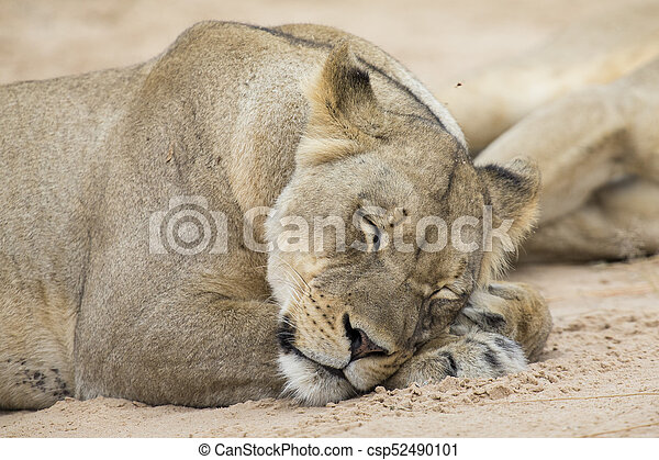 Close-up of a lioness lying down to sleep on soft Kalahari sand - csp52490101