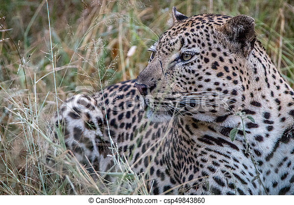 Close up of a male Leopard in the grass. - csp49843860