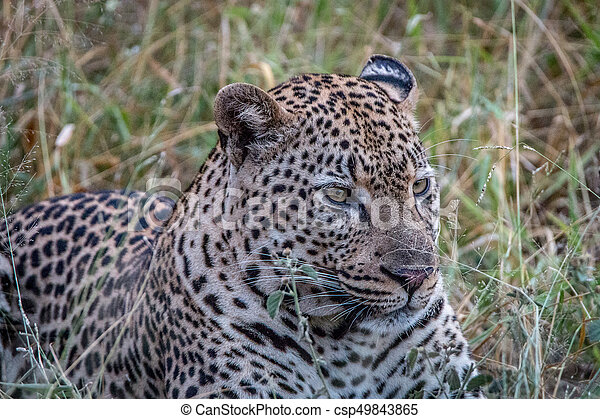 Close up of a male Leopard in the grass. - csp49843865