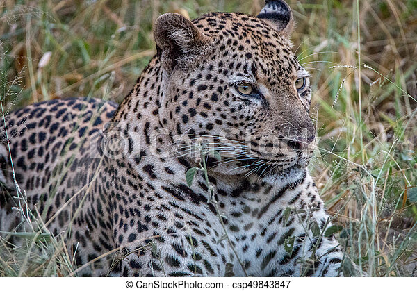 Close up of a male Leopard in the grass. - csp49843847