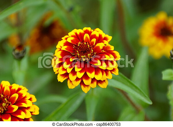 Close up of a red and yellow 'Jazzy Group' zinnia flower - csp86400753