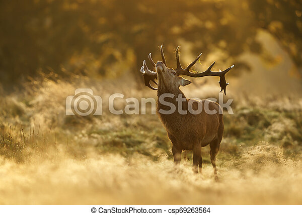 Close up of a Red deer standing at sunrise - csp69263564