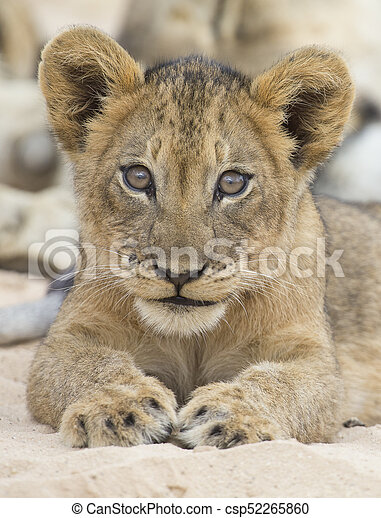 Close-up of a small lion cub lay down to rest on soft Kalahari sand - csp52265860