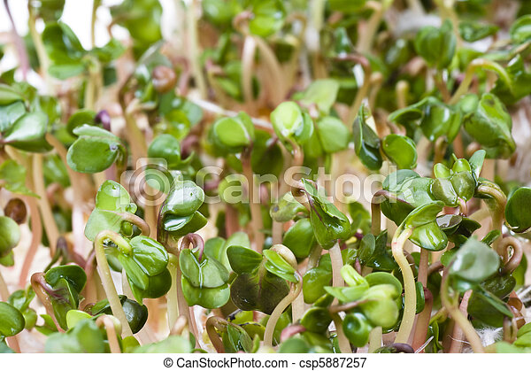 Close-up of a spicy daikon radish sprout - csp5887257