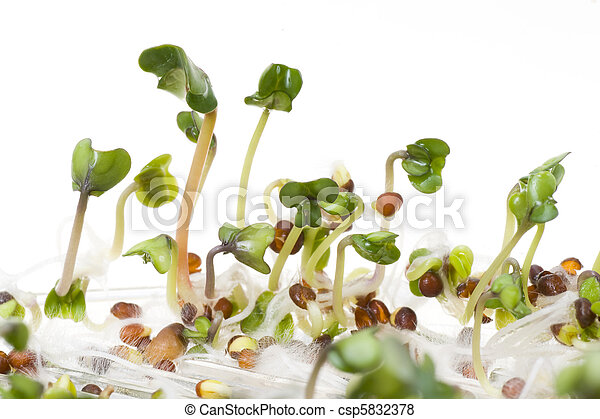 Close-up of a spicy daikon radish sprout - csp5832378