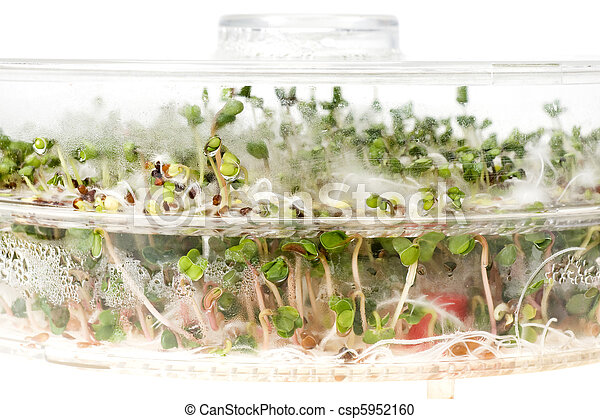 Close-up of a spicy daikon radish sprout - csp5952160