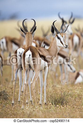Close-up of a springbok standing in a herd looking back - csp52490114