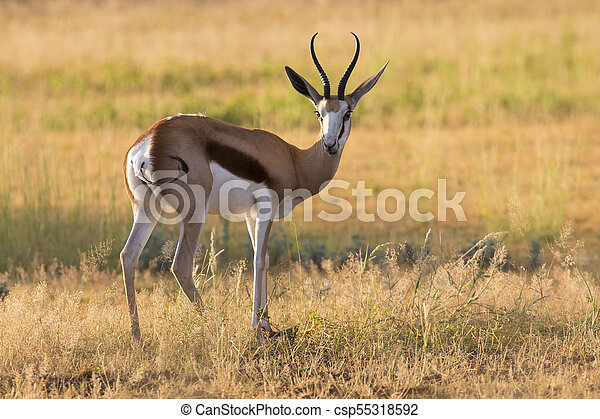 Close-up of a springbok standing on the short grass of a plain of the Kgalagadi - csp55318592