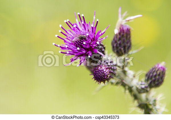 Close-up of a Thistle bloom, the national flower of Scotland - csp43345373