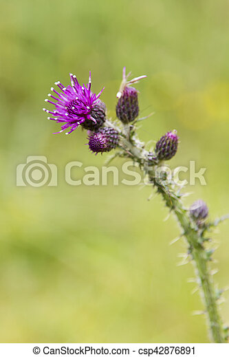 Close-up of a Thistle bloom, the national flower of Scotland - csp42876891