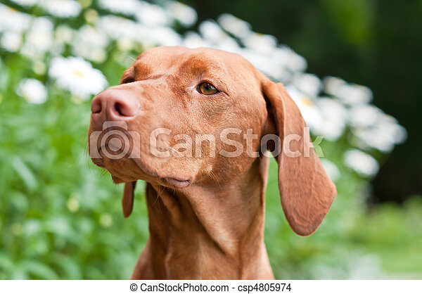Close-up of a Vizsla Dog in a Garden - csp4805974