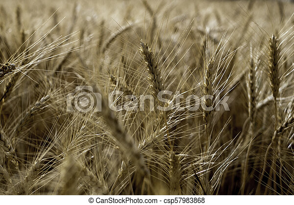 Close up of a wheat field ready for harvest - csp57983868