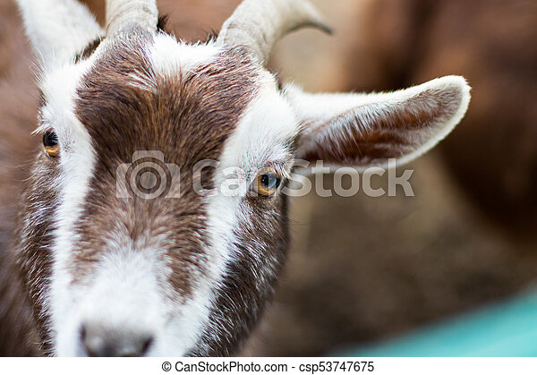 Close-up of a white brown goat looking into the camera. - csp53747675