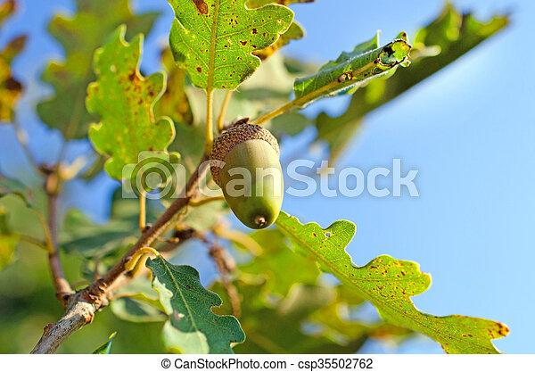 Close up of acorn in the wood - csp35502762