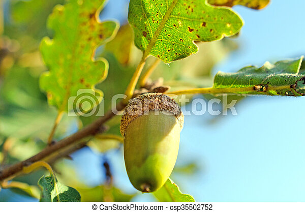 Close up of acorn in the wood - csp35502752