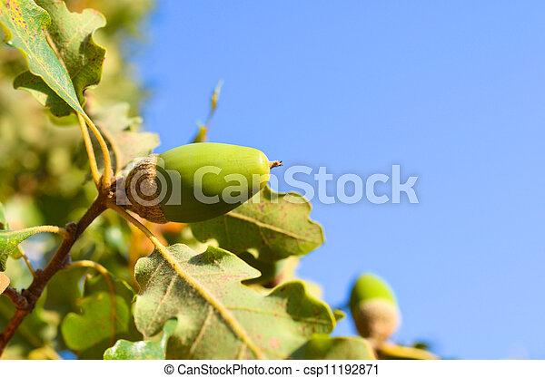Close up of acorn - csp11192871