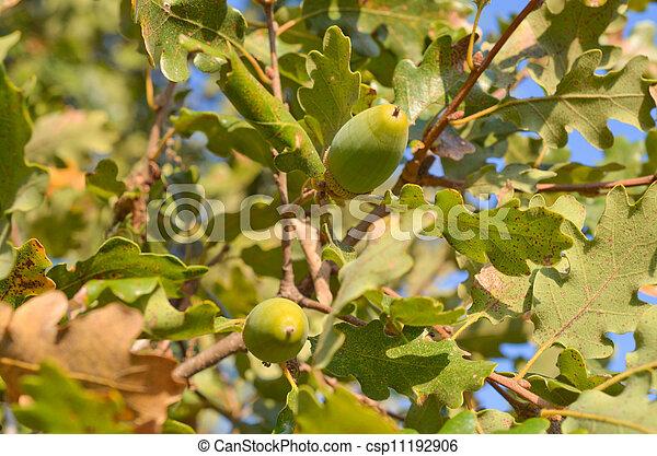 Close up of acorn - csp11192906