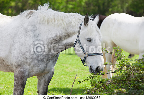 Close up of an arabian grey horse - csp13980057