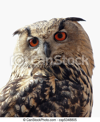 Close up of an Eagle Owl (Bubo bubo) - csp5348805