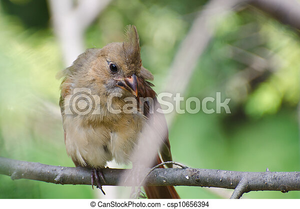 Close Up of an Immature Northern Cardinal Perched in a Tree - csp10656394