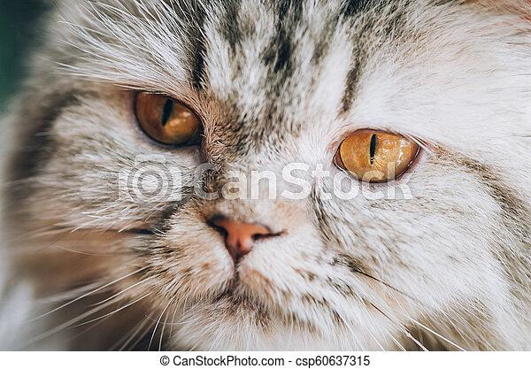 Close up of beautiful cat eyes - csp60637315