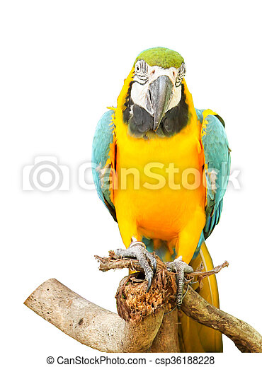 Close up of Blue and Yellow Macaw on white background - csp36188228