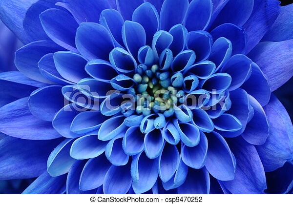 Close up of blue flower : aster with blue petals and yellow heart for background or texture - csp9470252