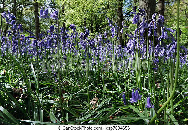 Close up of Bluebells in Staffhurst Woods - csp7694656