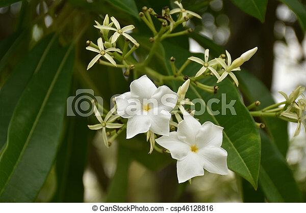 Close up of Cerbera odollam Gaertn flower with leaves in background. White flower (Cerbera odollam) - csp46128816