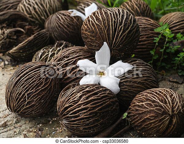 Close up of Cerbera odollam Gaertn flower and seeds. - csp33036580