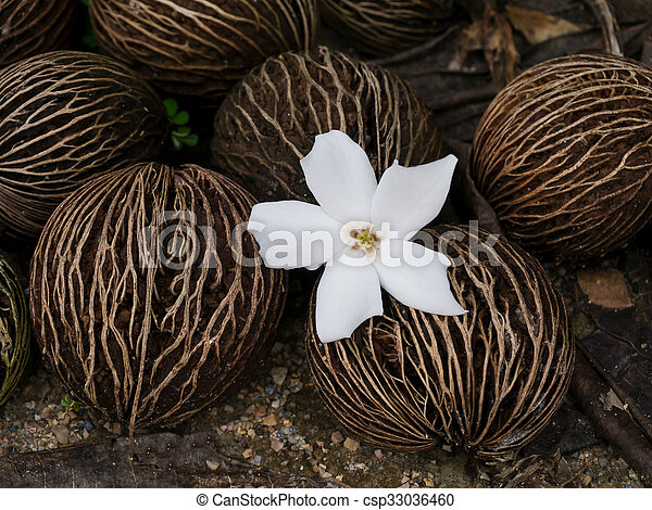 Close up of Cerbera odollam Gaertn flower and seeds. - csp33036460