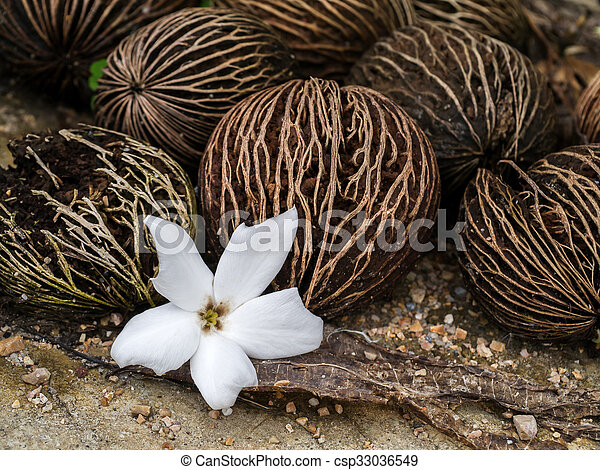 Close up of Cerbera odollam Gaertn flower and seeds. - csp33036549