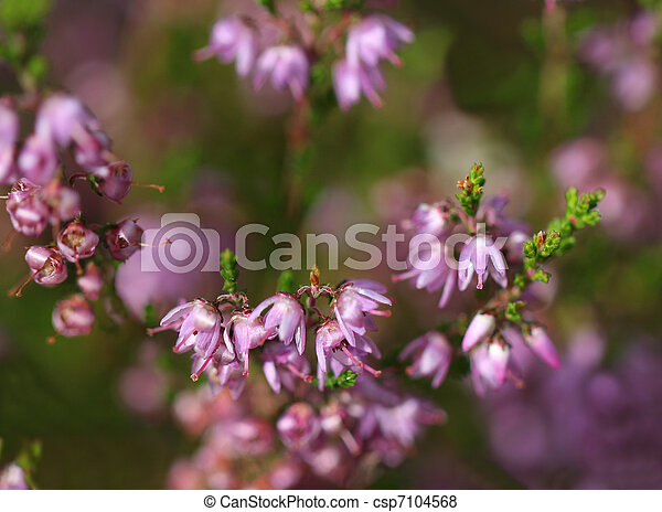 Close up of common heather flowers background of common heather close up of common heather flowers csp7104568 mightylinksfo