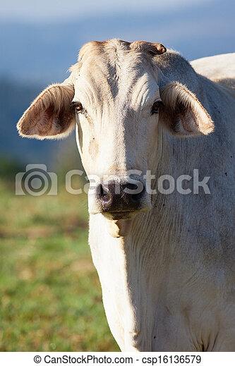 Close-up of cow - csp16136579