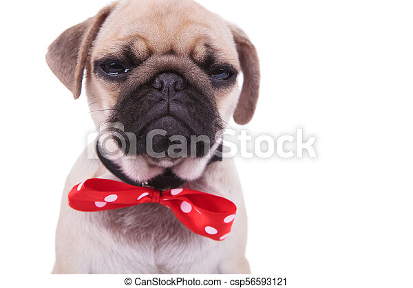 Close Up Of Crying Pug Wearing Red Bowtie With White Dots Close Up