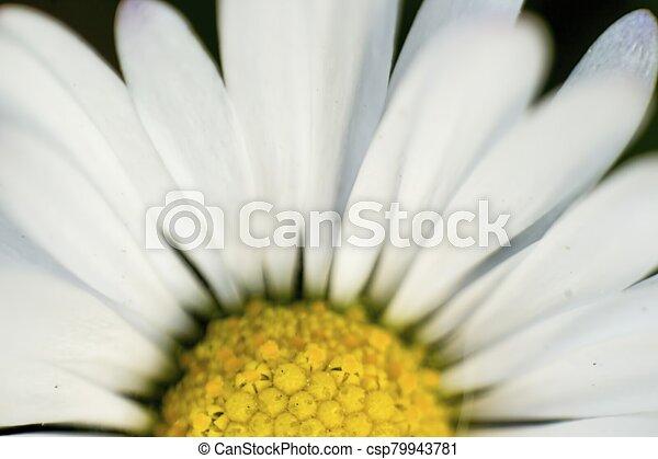 Close-up of daisy - csp79943781