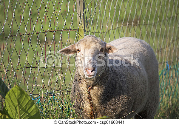 Close up of dirty white sheep looking at camera, next to rustic and crooked chain fence. - csp61603441