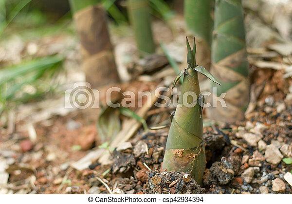 Close up of fresh Bamboo shoot. - csp42934394