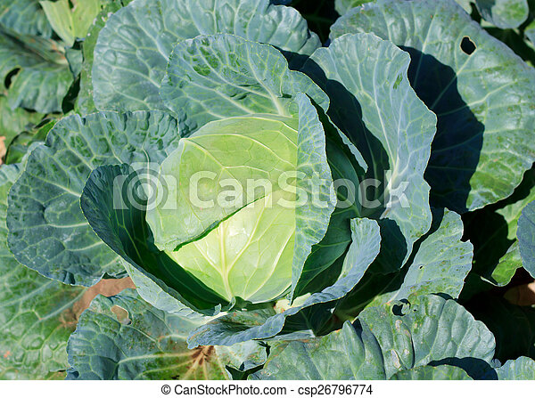 Close-up of fresh cabbage in the vegetable garden. - csp26796774