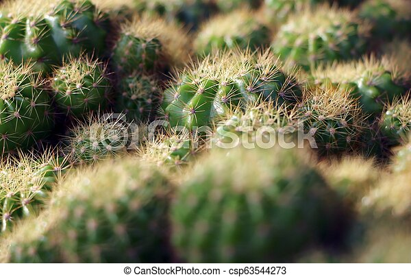 Close up of globe shaped cactus with long thorns (selective focus point). - csp63544273