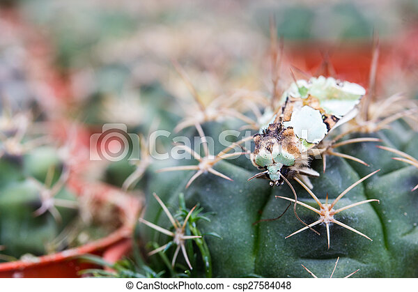 Close up of globe shaped cactus with long thorns - csp27584048