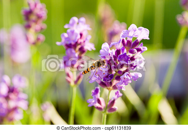 Close up of hoverfly feeding at lavender flowers. Shallow depth of field. - csp61131839