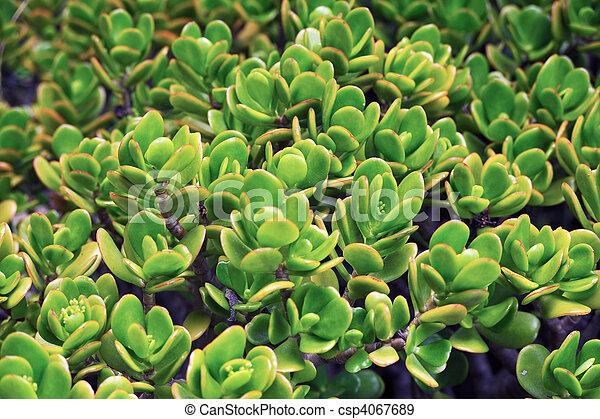 Close up of kalanchoe - succulent. on paddle plant succulent, haworthia succulent, euphorbia succulent, sempervivum succulent, rose succulent, agave succulent, senecio succulent, cotyledon succulent, sedum succulent, cactus succulent, burros tail succulent, aloe succulent, white plants succulent, mules ears succulent, orchid succulent, variegated trailing succulent, indoor plants succulent, cabbage succulent, alligator plant succulent, echeveria succulent,