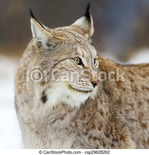 Close up of lynx in the forest - csp29628262